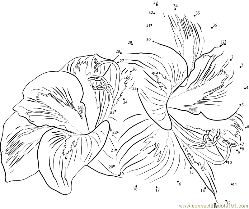 amaryllis coloring pages - photo#25