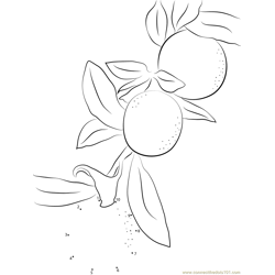 Meiwa Kumquat Fruit Dot to Dot Worksheet