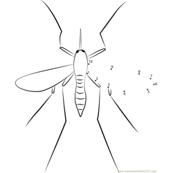 Male Adult Mosquito