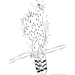 Northern Goshawk Esteemed Bird of Prey