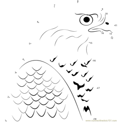 Northern Goshawk Face