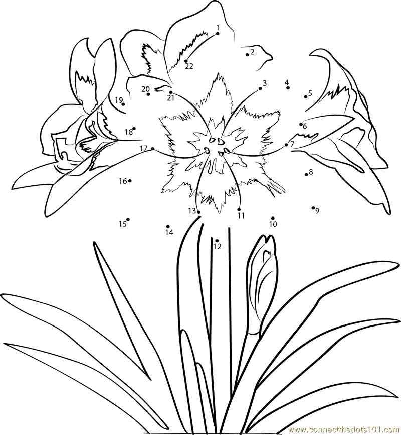 amaryllis coloring pages - photo#5