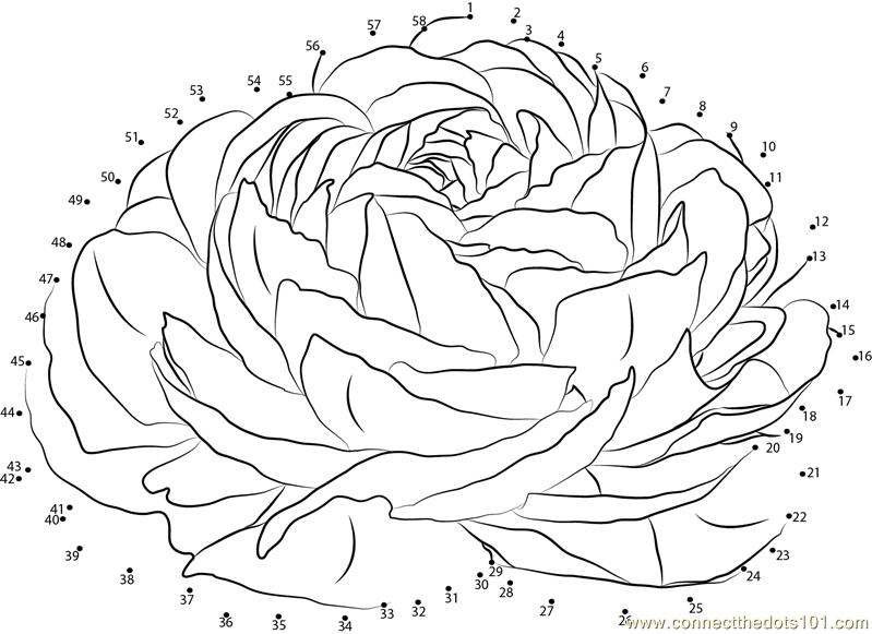 Connect The Dots Ranunculus (Flowers > Ranunculus)